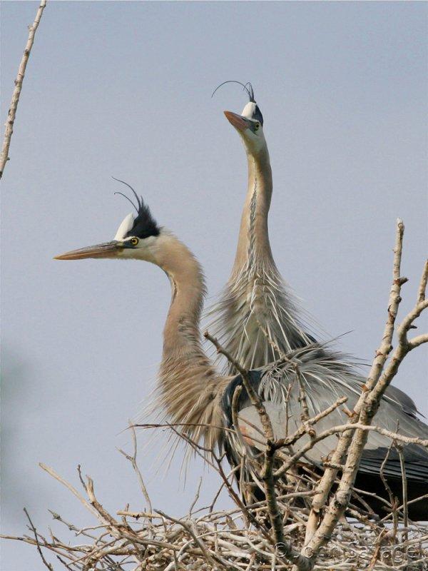 Great blue heron 136 herons