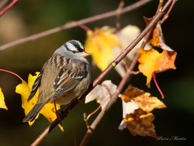 bruant a couronne blanche - white crowned sparrow