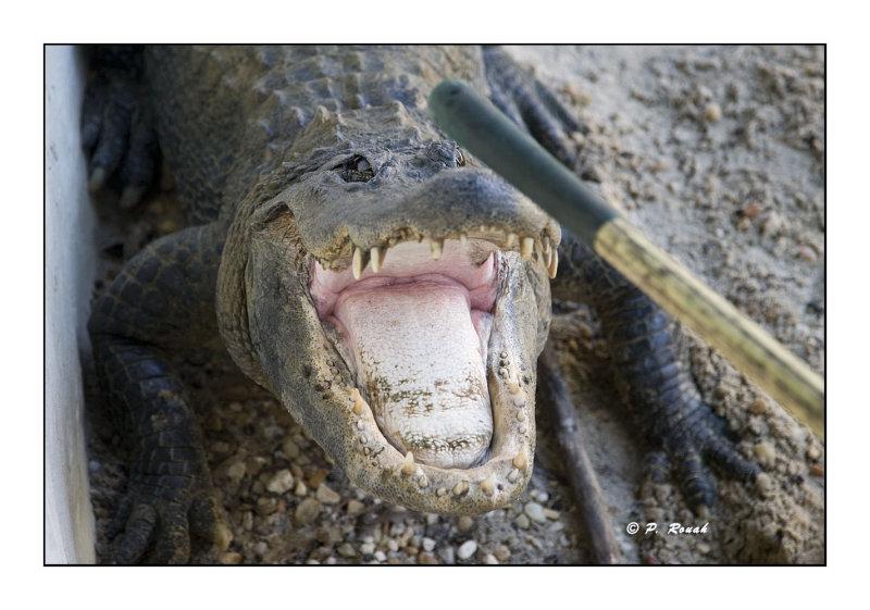 Alligator - 3438