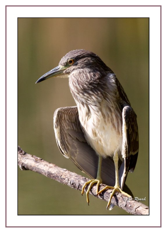Heron - 1427