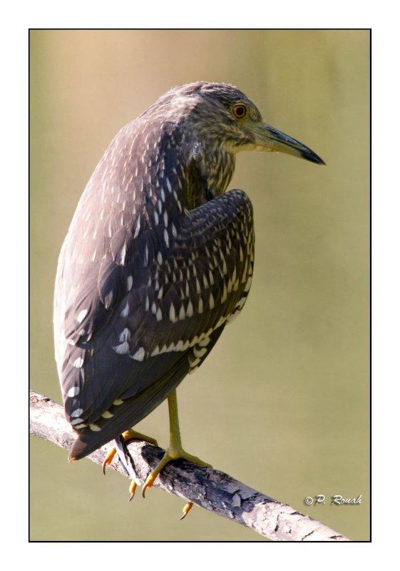 Heron - 1517