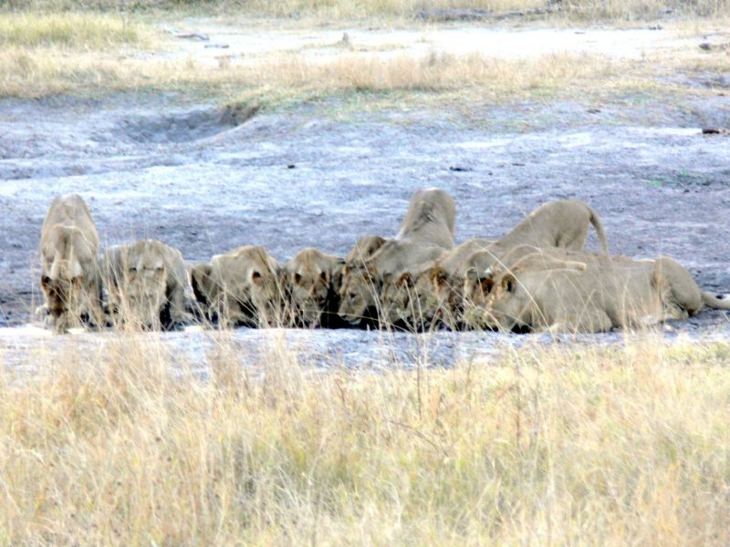 Our Only Lion Sighting.  A Pride of about 12 or 13 Lions Spotted at a Watering Hole at Sunset