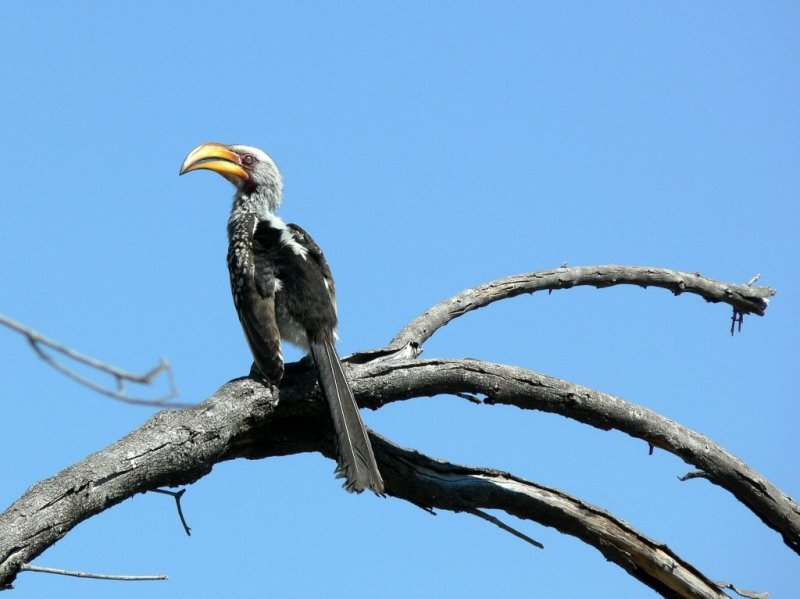 Yellow-billed Hornbill or Commonly Called the Flying  Banana