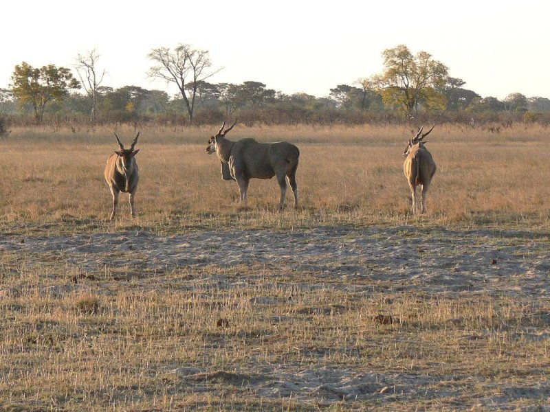 Elands, the Largest of the Antelope Family