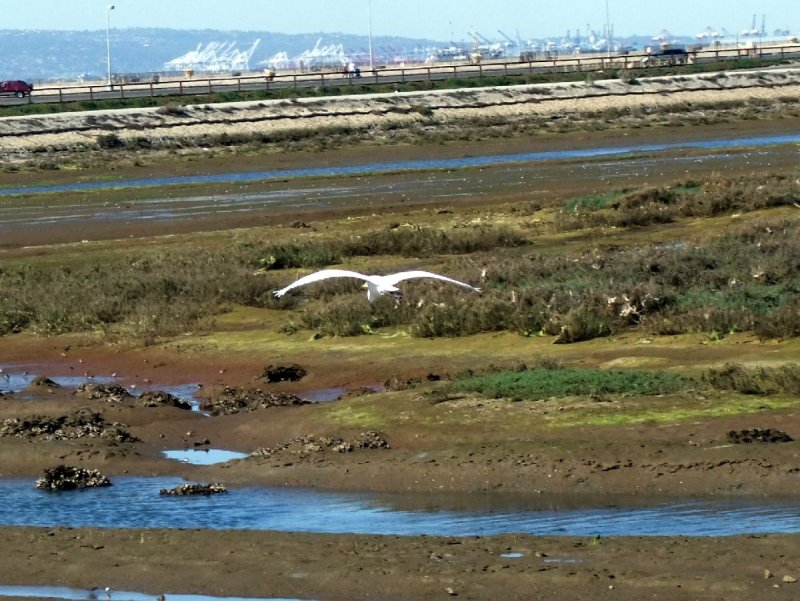 Great Egret with the Port of Long Beach in the Background