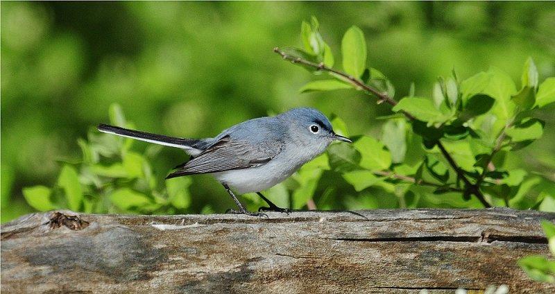 Blue-Gray Gnatcatcher (Polioptila caerulea)
