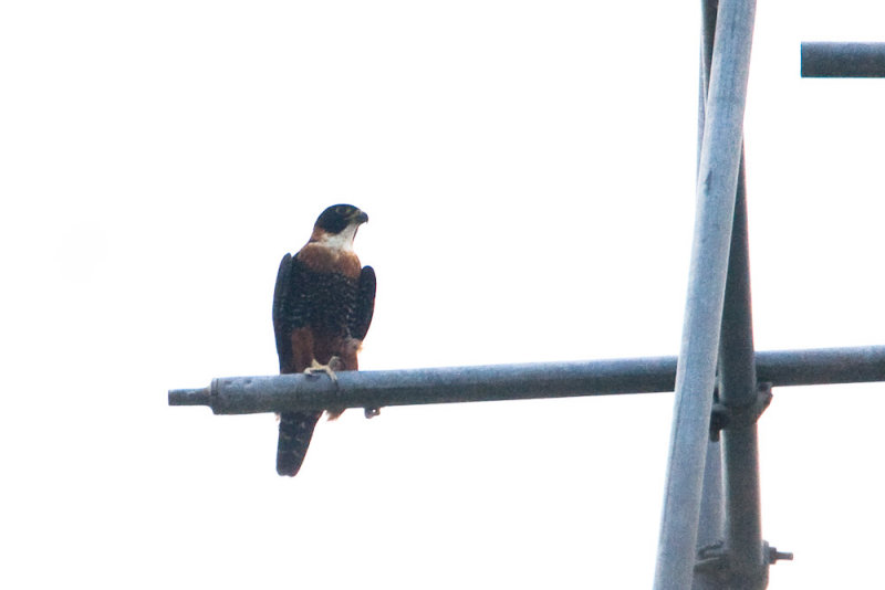 Orange-breasted Falcon, too far away