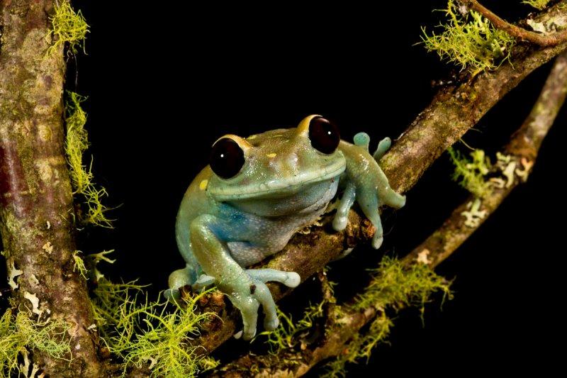 Maroon Eye Tree Frog