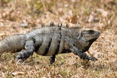 Spiny-tailed (Black) Iguana