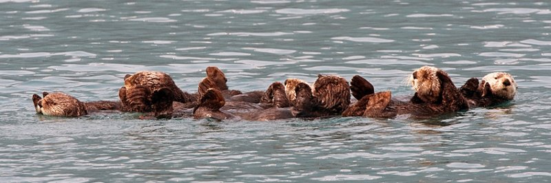Sea Otter Panorama.jpg