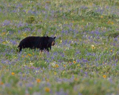 Bear in the Wildflowers Near Rising Sun.jpg