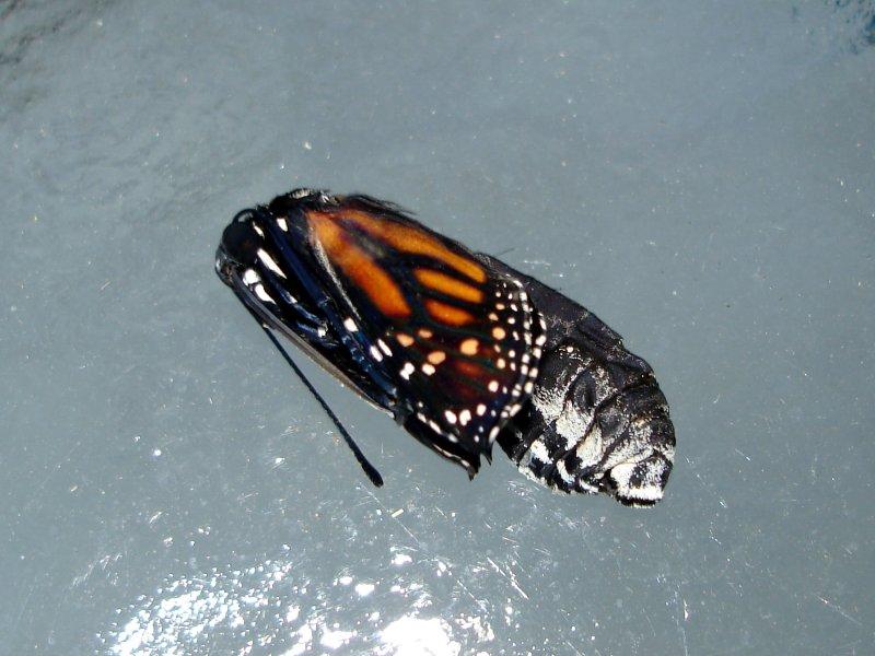 Monarch Eclosing