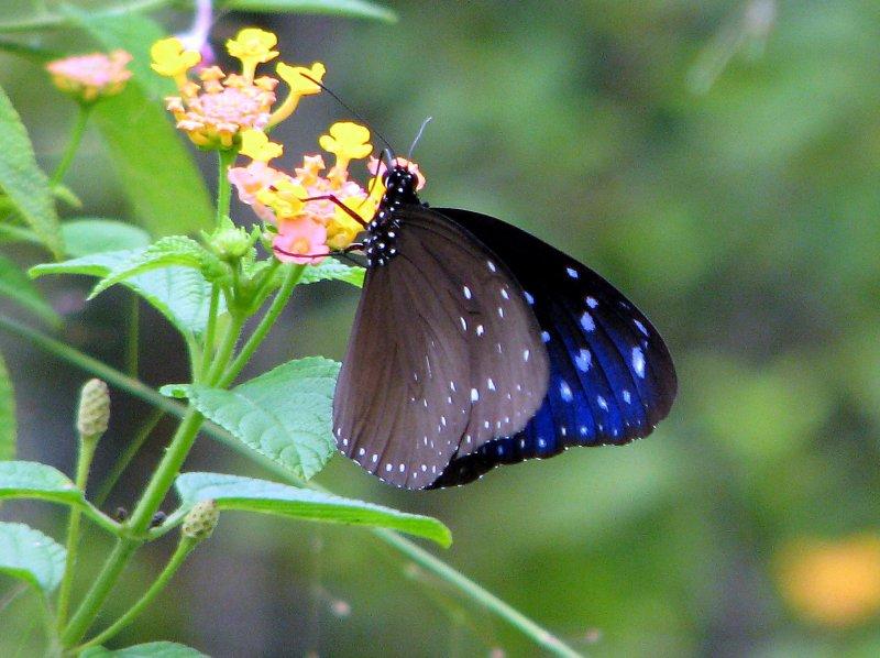 Striped Blue Crow - Euploea mulciber