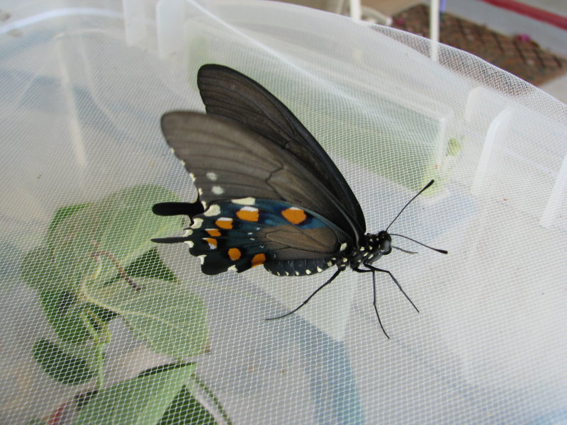 Newly eclosed Pipevine Swallowtail