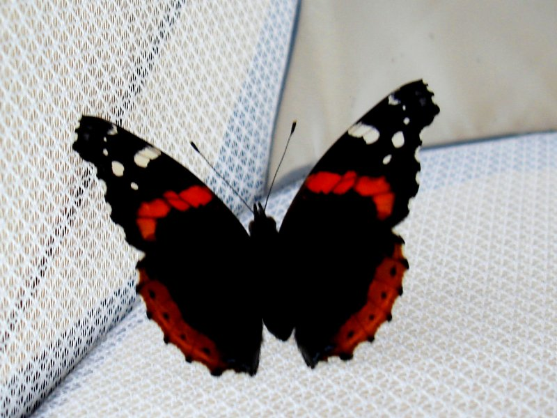 Red Admiral newly eclosed