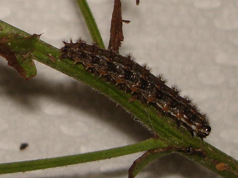 Pearl Crescent Caterpillar