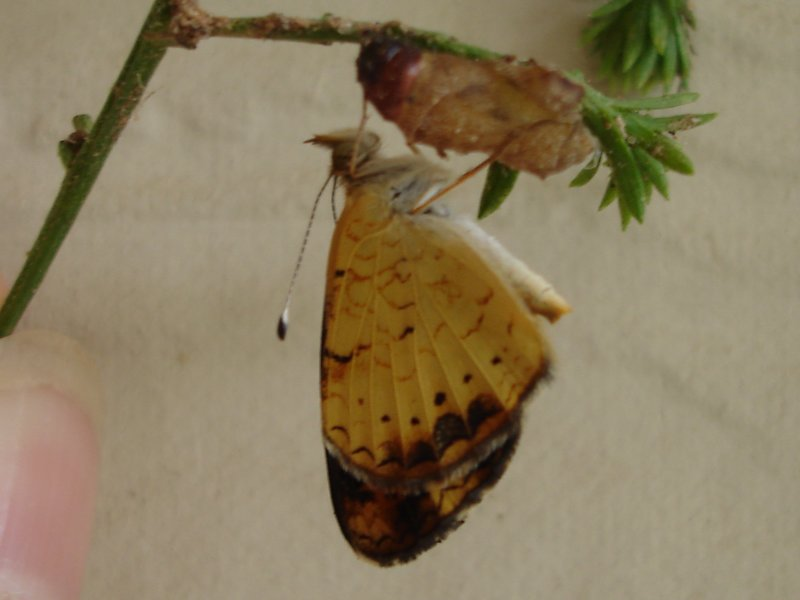 Pearl Crescent newly eclosed