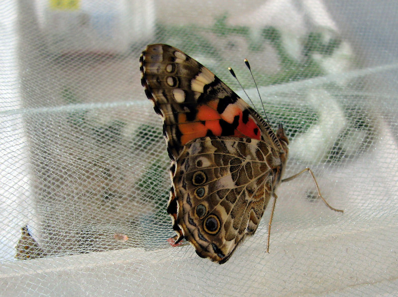 Newly eclosed Painted Lady
