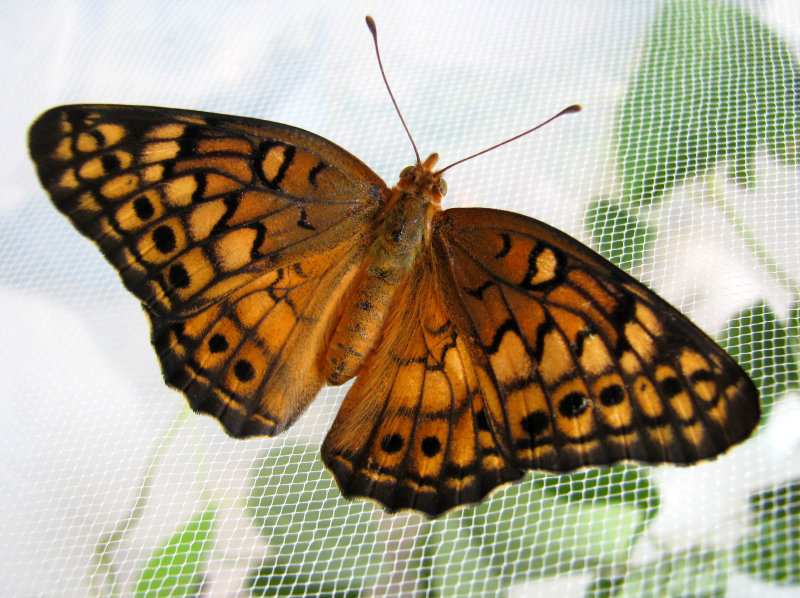 Newly eclosed Variegated Fritillary