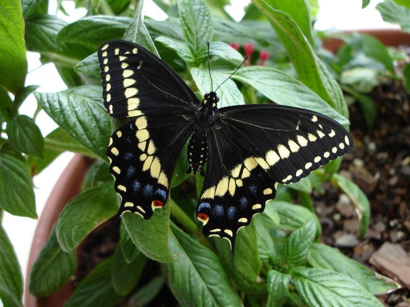 Papilio polyxenes asteres
