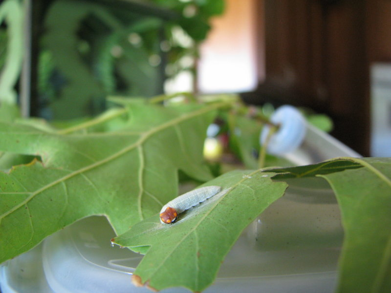 Horace Duskywing Caterpillar