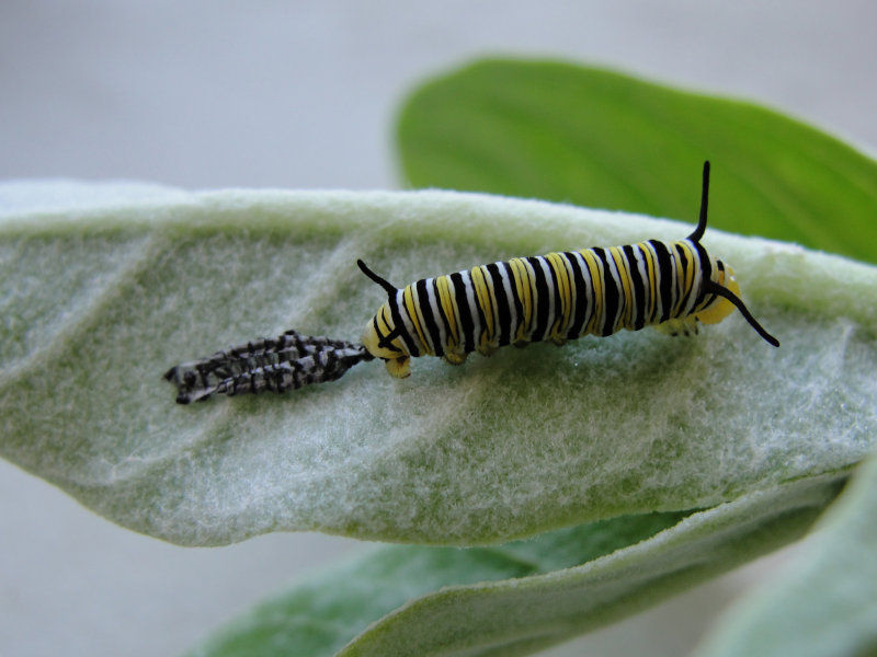 Monarch caterpillar recently molted