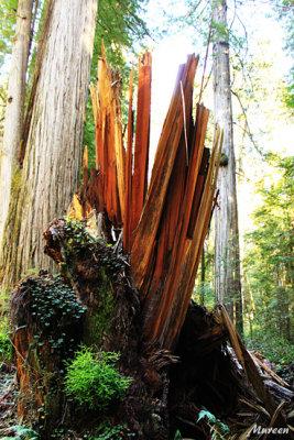 Redwood-Memorium