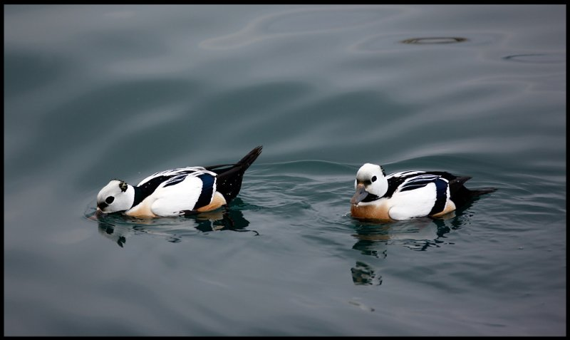 Two male Stellers Eiders