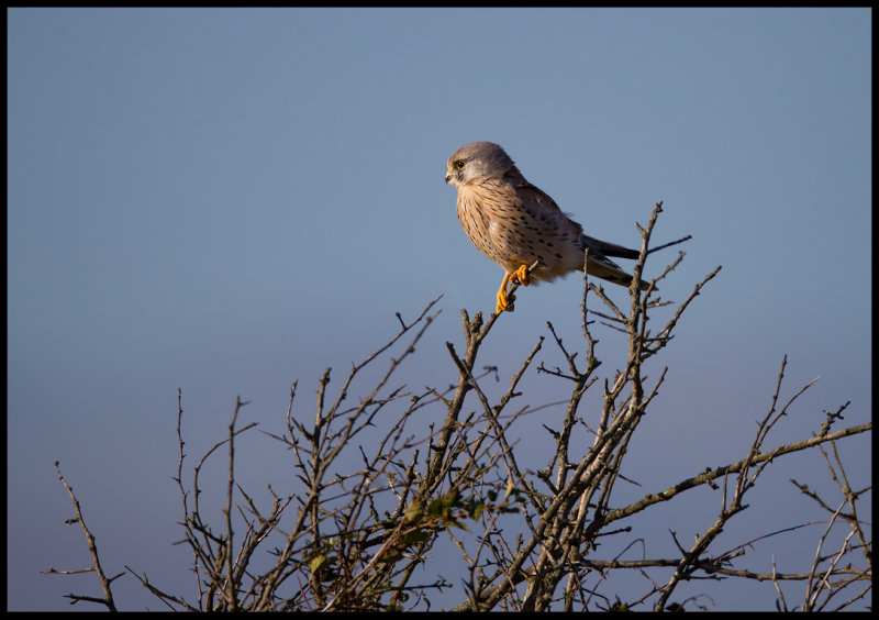 Kestrel on migration at Ottenby