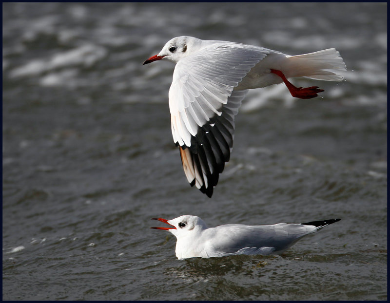 Black-headed Gulls - Grönhögen