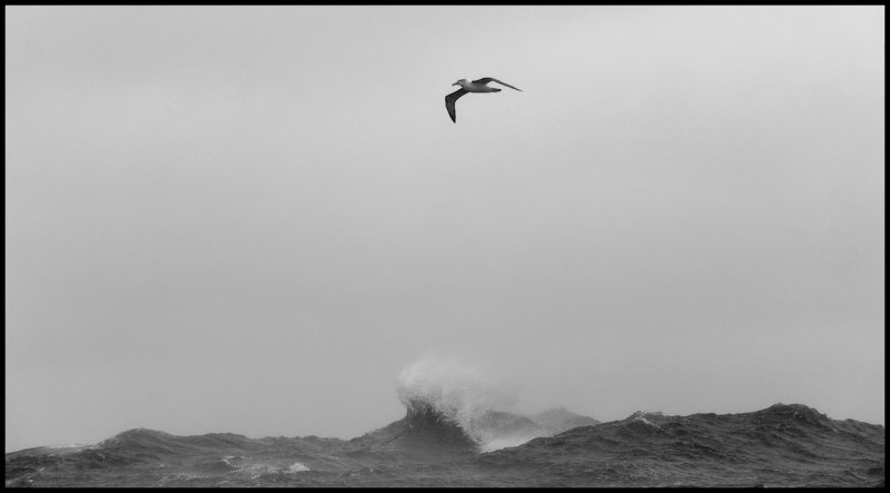 White-capped Albatross in strong winds