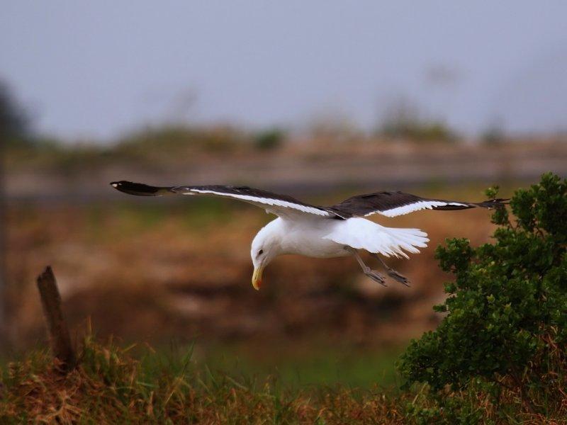 Kelp Gull