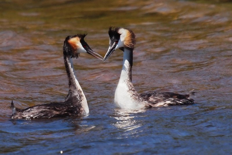 Greater Crested Grebs