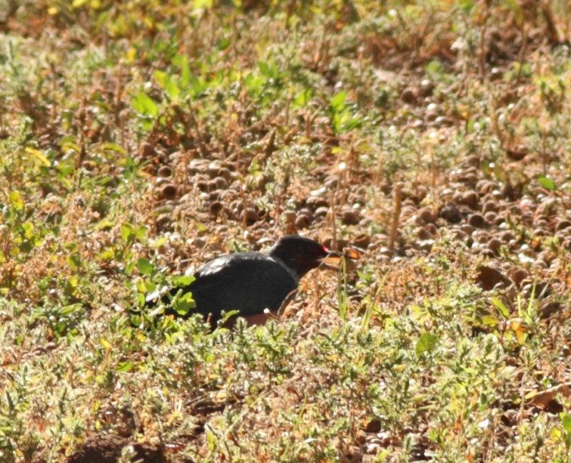 134. Lewiss Woodpecker