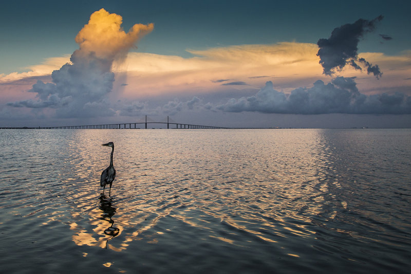 A Great Blue Heron Sunset