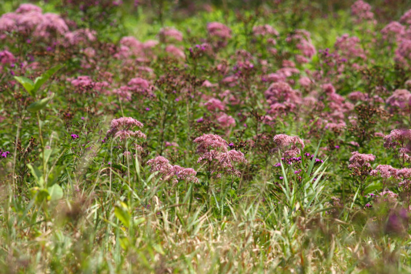 Joe Pye Weed and Ironweed