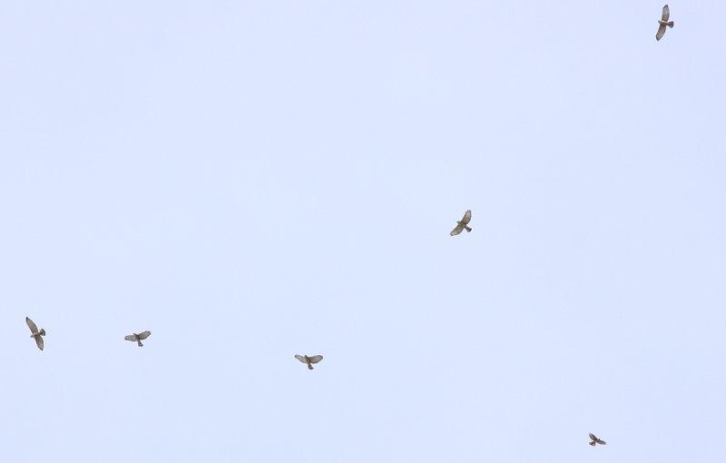 Broad-wings!