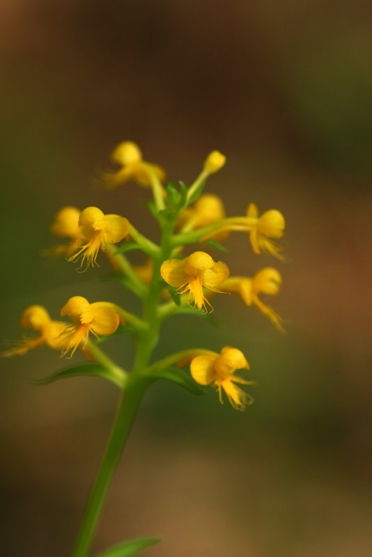 Orange Crested Orchid (Platanthera cristata)