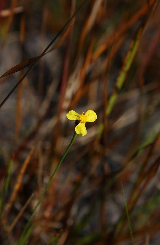 Xyris smalliana (Smalls Yellow Eyed Grass)