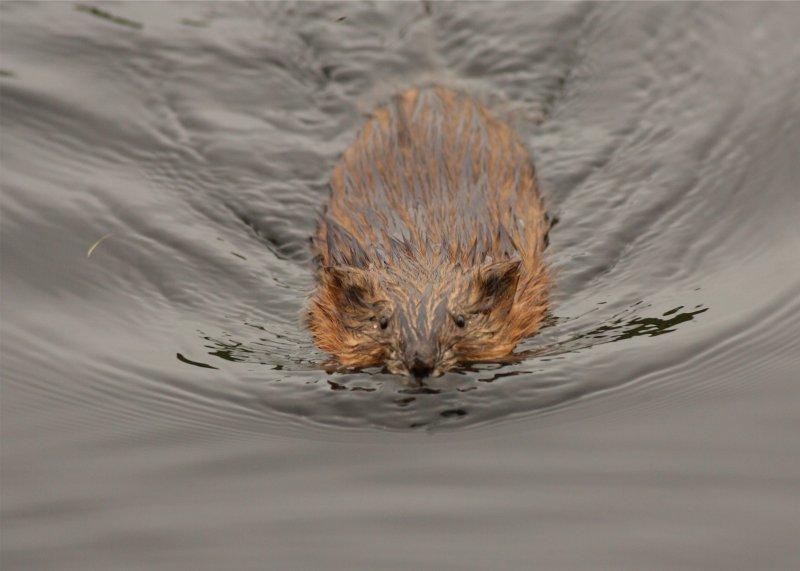 River Rat
