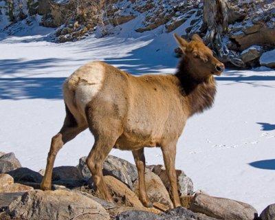 zP1030554 Timid elk nears river in Estes Park.jpg