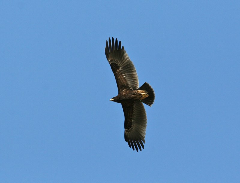 Greater Spotted Eagle (Aguila clanga)