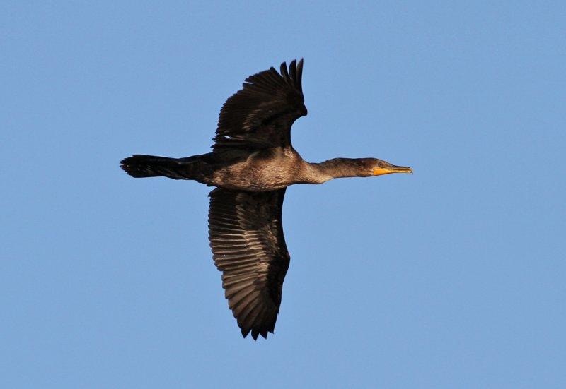 Double-crested Cormorant (Phalacrocorax auritus)