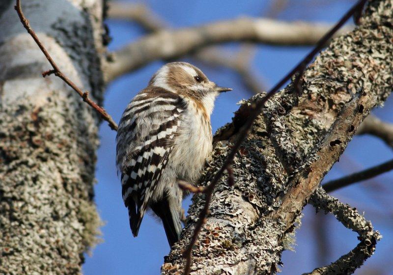 Japanese Pygmy Woodpecker (Yungipicus kizuki seebohmi)