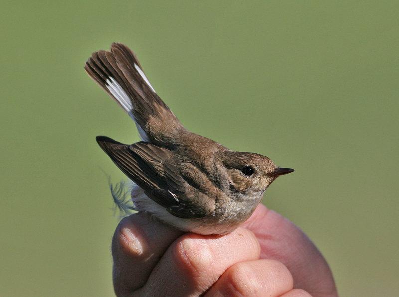 Red-throated Flycatcher (Ficedula parva)