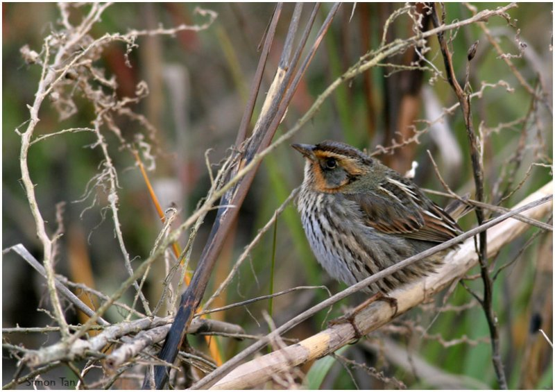 113-Ammodramus-55-Saltmarsh-Sharp-tailed-Sparrow.jpg