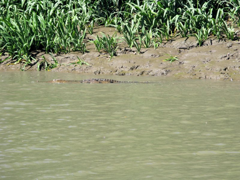 crocodileinwatermar.jpg