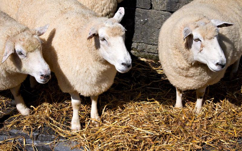 Purebred Galway Sheep