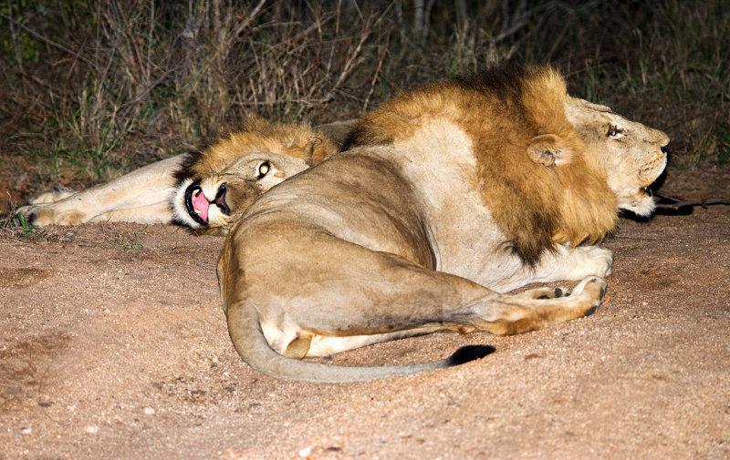 Mapogo Males Roaring at Night
