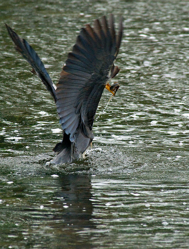 Grey Heron + Fish